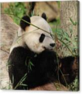 Adorable Giant Panda Bear Eating Bamboo Shoots Canvas Print