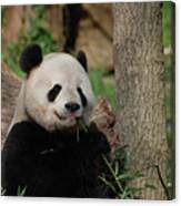 Adorable Giant Panda Eating A Shoot Of Bamboo Canvas Print
