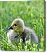 Adorable Goose Chick Canvas Print