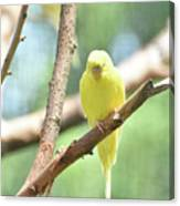 Adorable Yellow Budgie Parakeet Relaxing In A Tree Canvas Print