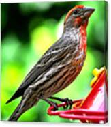 Adult Male House Finch Canvas Print