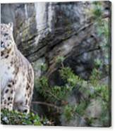 Adult Snow Leopard Standing On Rocky Ledge Canvas Print