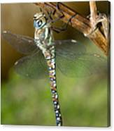Aeshna Mixta Dragonfly Canvas Print