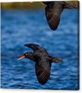 African Black Oystercatchers Canvas Print