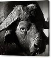 African Buffalo Bull Close-up Canvas Print