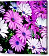 African Daisies - Arctotis Stoechadifolia Canvas Print