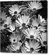African Daisies In Black And White Canvas Print