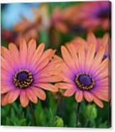 African Daisy Twins Canvas Print