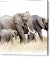 African Elephant Group Isolated Canvas Print
