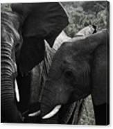 African Elephants Canvas Print