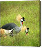 African Gray Crown Crane Canvas Print