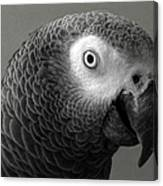 African Gray Canvas Print
