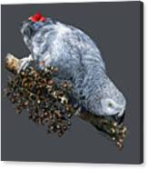 African Grey Parrot A Canvas Print