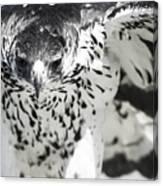 African Hawk Eagle 2 Canvas Print