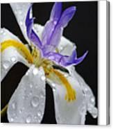 African Iris Canvas Print