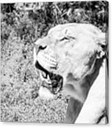 African Lion Canvas Print