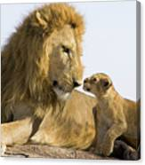 African Lion Panthera Leo Seven Canvas Print