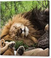 African Lion Sleeping In Serengeti Canvas Print