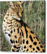 African Serval In Ngorongoro Conservation Area Canvas Print