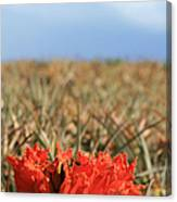 African Tulip Blossom Over Pineapple Field Aloha Makawao Canvas Print