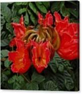 African Tulip Canvas Print
