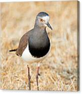 African Wattled Lapwing Vanellus Canvas Print