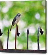 African White-eye Bird Canvas Print