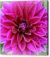 After The Rain - Purple Dahlia Canvas Print
