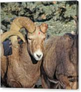 After The Rut Bighorn Sheep Canvas Print