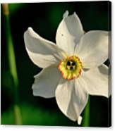 Afternoon Of Narcissus Poeticus. Canvas Print