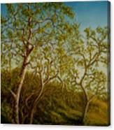 Afternoon Sycamores Canvas Print