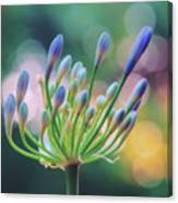 Agapanthus Dawn Canvas Print