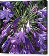 Agapanthus Flowers In Purple - New And Old Canvas Print