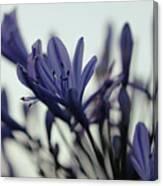 Agapanthus - Love Flower -2  Canvas Print