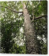 Agathis Borneensis Tree Canvas Print