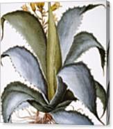 Agave, 1613 Canvas Print