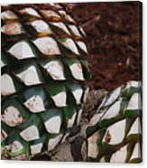 Agave Pineapples Canvas Print