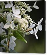 Ailanthus Webworm Moth 1 Canvas Print