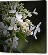 Ailanthus Webworm Moth 2 Canvas Print