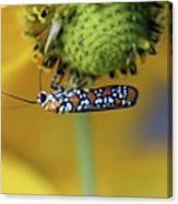 Ailanthus Webworm Moth #6 Canvas Print