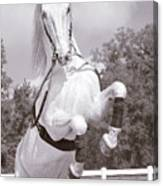 Airs Above The Ground - Lipizzan Stallion Rearing Canvas Print
