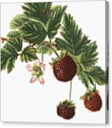 Akala Berries Canvas Print