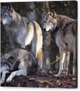 Alaska Wolf Trio Canvas Print