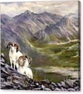 Alaskan  Dalls Sheep Canvas Print
