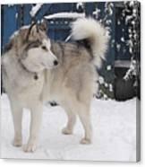 Alaskan Malamute In Snow 2 Canvas Print