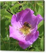 Alberta Wild Rose And Bee Canvas Print