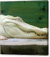 Albino Alligator Canvas Print