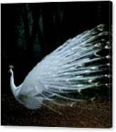 Albino Peacock Canvas Print