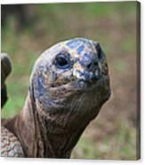 Aldabra Giant Tortoise's Portrait Canvas Print