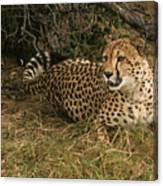 Alert Cheetah Canvas Print